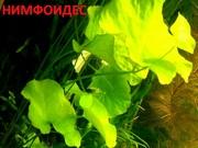 Нимфоидес. НАБОРЫ растений для запуска. ПОЧТОЙ отправлю