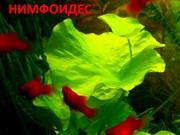 Нимфоидес. НАБОРЫ растений для запуска. ПОЧТОЙ отправлю-