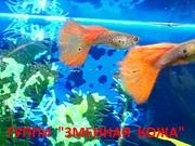 ГУППИ Змеиная кожа красная --- чистая линия... - Рыбки аквариумные