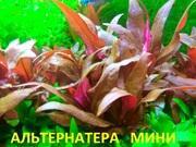 Альтернатера мини. НАБОРЫ растени для запуска акваса. Почтой отправлю-