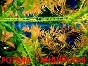 Ротала. НАБОРЫ растений для запуска акваса. ПОЧТОЙ отправлю----