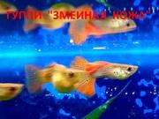 ГУППИ Змеиная кожа красная - чистая линия.. - Рыбки аквариумные