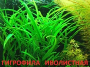 Гигрофила иволистная.. Наборы растений для запуска и перезапуска. Почт