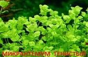 Микронтенум тенистый.. Наборы растений для запуска и перезапуска-