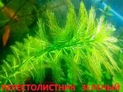 Перестолистник зеленый. Наборы растений для запуска и перезапуска =
