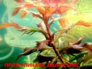Прозерпинака палюстрис. Наборы растений для запуска аквариума . Почтой