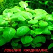Лобелия кардиналис. Наборы растений для запуска и перезапуска аквариу