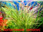 Погостемон октопус. Наборы растений для запуска аквариума . Почтой отп