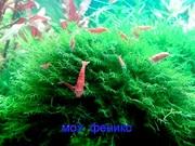 Мох феникс. НАБОРЫ растений для запуска аквариума. ПОЧТОЙ отправлю