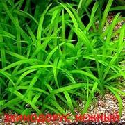 Эхинодорус нежный. НАБОРЫ растений для запуска аквариума. ПОЧТОЙ отпр