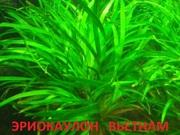 Аквариумные растения. Эриокаулон вьетнам. Наборы для запуска. ПОЧТОЙ