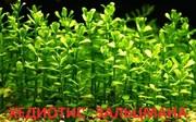 Аквариумные растения. Хедиотис зальцмана. Наборы для запуска. ПОЧТОЙ
