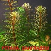 Ротала бангладеш. наборы растений для запуска. Почтой тправлю1