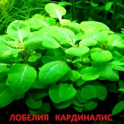Лобелия кардиналис. НАБОРЫ растений для запуска акваса. ПОЧТОЙ отправ