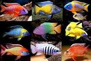 Самая дешевая аквариумная рыба.