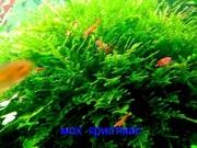 Мох крисмас -- аквариумные растения. Наборы растений для запуска аква/
