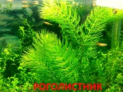Роголистник -- аквариумные растения. Наборы растений для запуска аквас