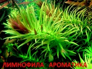 Лимнофила ароматика -- аквариумное растение и разные растения.