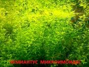 Жемчужная трава -- аквариумное растение и много других растений/