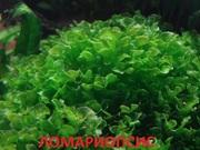 Ломариопсис папоротник. Наборы растений для запуска и перезапуска акв/