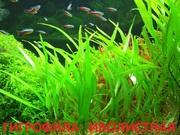 Гигрофила иволистная и розенервиг. Наборы растений для Запуска и пере/