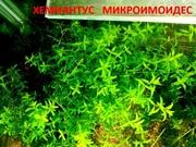 Хемиантус микроимоидес и др. аквариум-е растения,  наборами для запус=