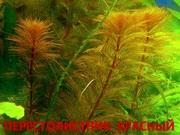 Красный перестолистник и др. аквариум-е растения,  наборами для запус=-